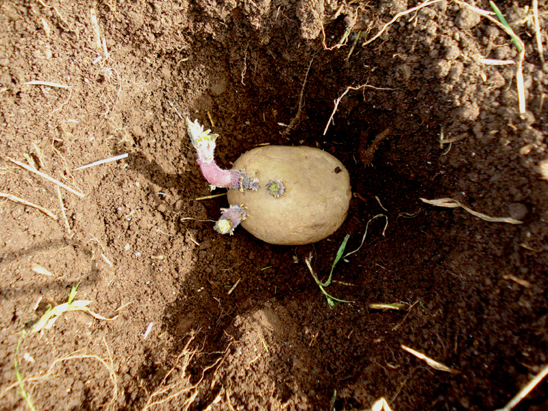 time, growth and potatoes